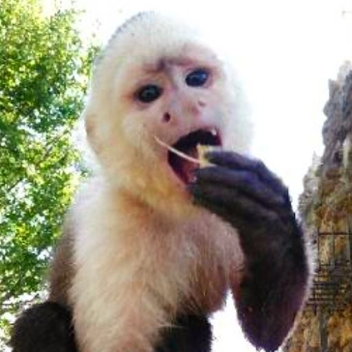 capuchin eating