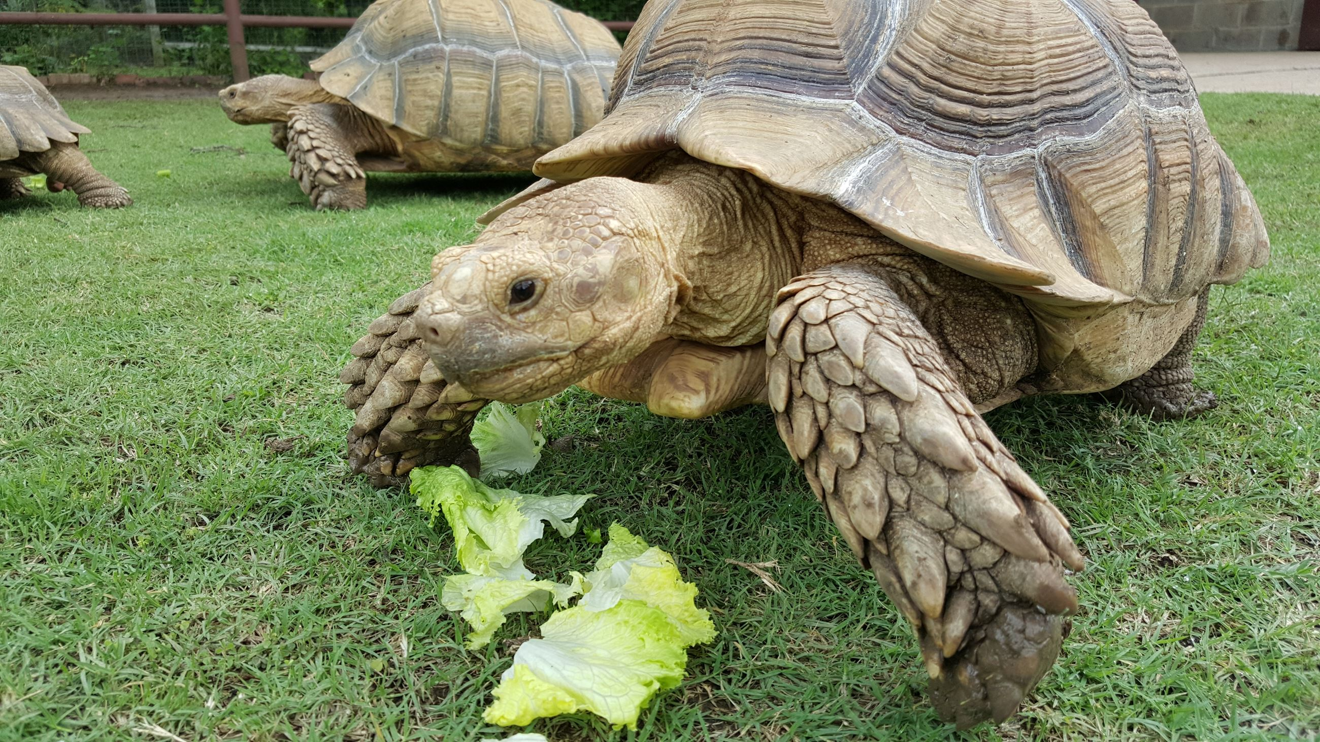 Large tortoises eating lettuce.