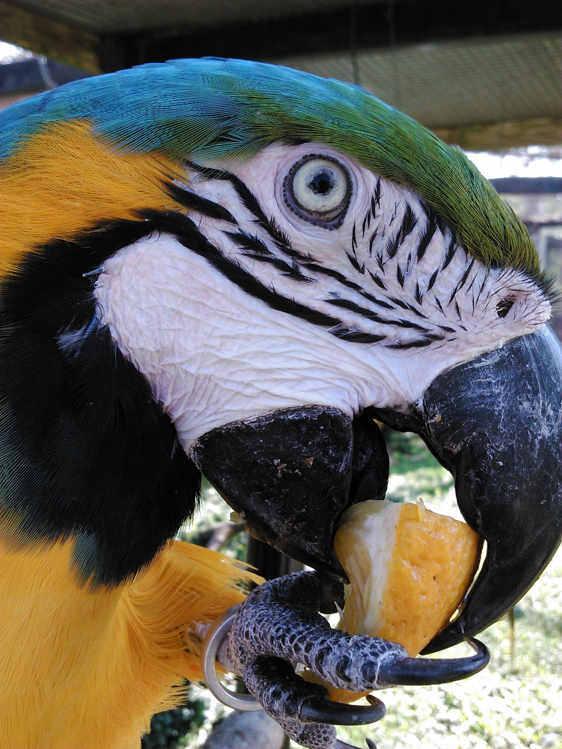 A parrot eating a lemon slice.