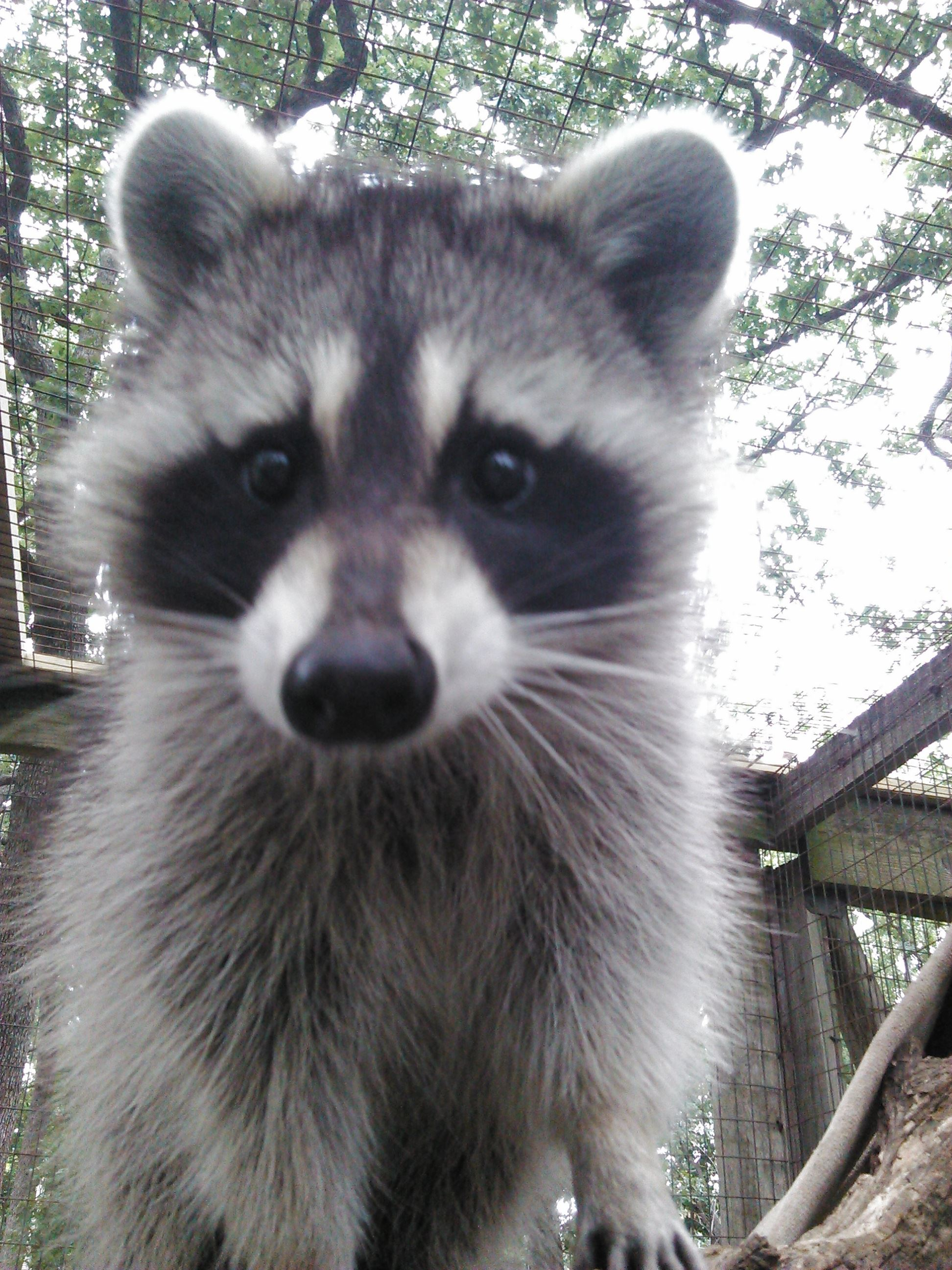 A raccoon in zoo habitat.