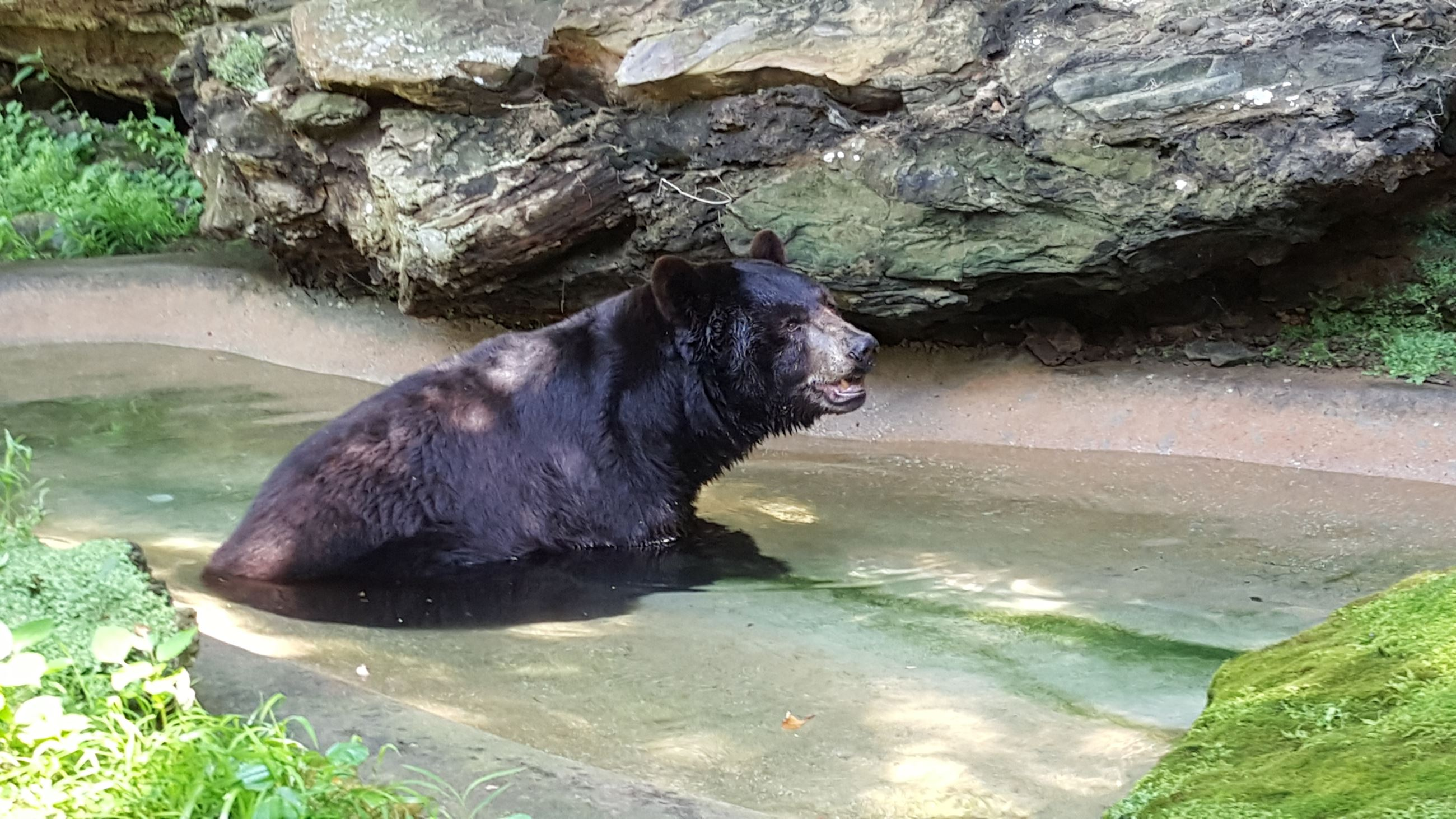 A black bear swimming in a pond.